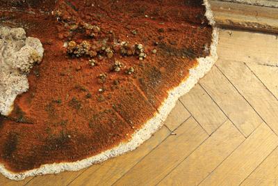 Mérule, champignon déstructeur, moisissure